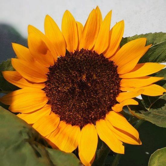 ❤️ Sunflower Flower Yellow Flower Head Beauty In Nature Nature Freshness Sunflower Close-up Plant Blossom Petal Growth No People