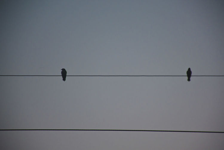 Bird Rice Field Low Angle View Bird Vertebrate Sky Cable Animal Perching Animal Themes Group Of Animals Animal Wildlife Animals In The Wild Connection No People Electricity  Silhouette Power Line  Clear Sky Nature Copy Space Two Animals Outdoors Telephone Line Power Supply