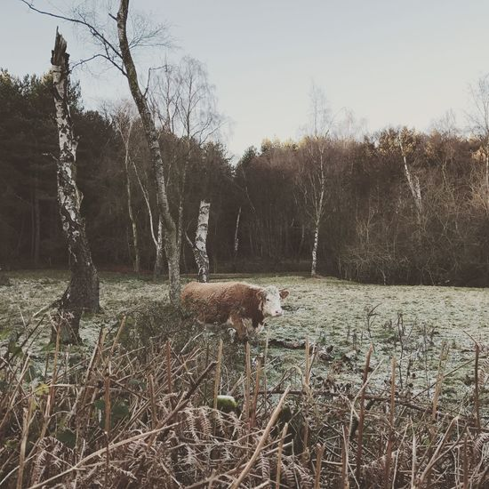 Lone cow in Delamere, Tree Animal Themes Domestic Animals Nature Livestock Growth Mammal No People Sheep Grass Day Beauty In Nature Outdoors Sky Cows Cold Photography Scenery