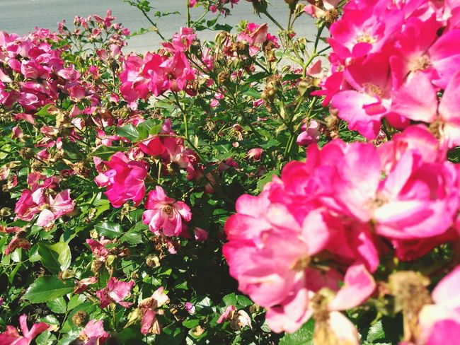 Flowers Flower Beauty In Nature Nature Pink Color Growth No People Fragility Plant Petal Outdoors Flower Head Day Springtime Freshness Close-up Vintage