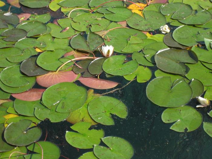 Leaves floating on pond