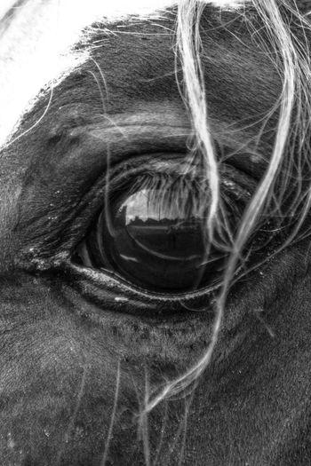 Horses Horses Eyes Eyes Eyes Are Soul Reflection Blackandwhite Blackandwhite Photography EyeEm Best Shots EyeEm Best Shots - Black + White EyeEmBestPics EyeEm Gallery Eyemphotography GayneGirlPhotography Eyembestshots Eyeemphotography EyeEm Nature Lover EyeEm Best Shots - Nature EyeEm BlackandWhite Eyeem Black And White