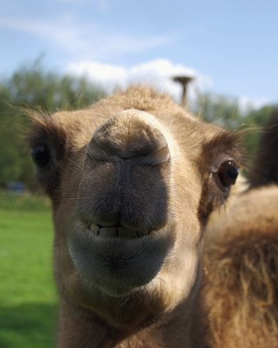 Smile, it is the key that fits the lock of everybody's heart Camel Animal Smile Funny Smile Animal Themes Portrait Looking At Camera Nose Close-up
