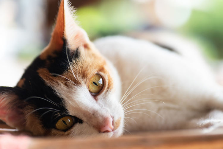 Tricolor cat Thai Cat Animal Animal Body Part Animal Eye Animal Head  Animal Themes Cat Close-up Cute Cats Domestic Domestic Animals Domestic Cat Feline Looking At Camera Lying Down Mammal No People One Animal Pets Portrait Relaxation Sleeping Cat Tricolor Cat Vertebrate Whisker