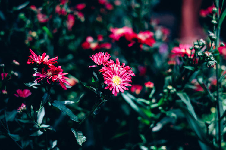 Flower Flowering Plant Plant Beauty In Nature Fragility Growth Freshness Petal Flower Head Close-up Focus On Foreground Nature Red Outdoors Selective Focus Plant Part Leaf No People Pollen Red Bright Green Color Backgrounds Copy Space Daisy Springtime Decadence