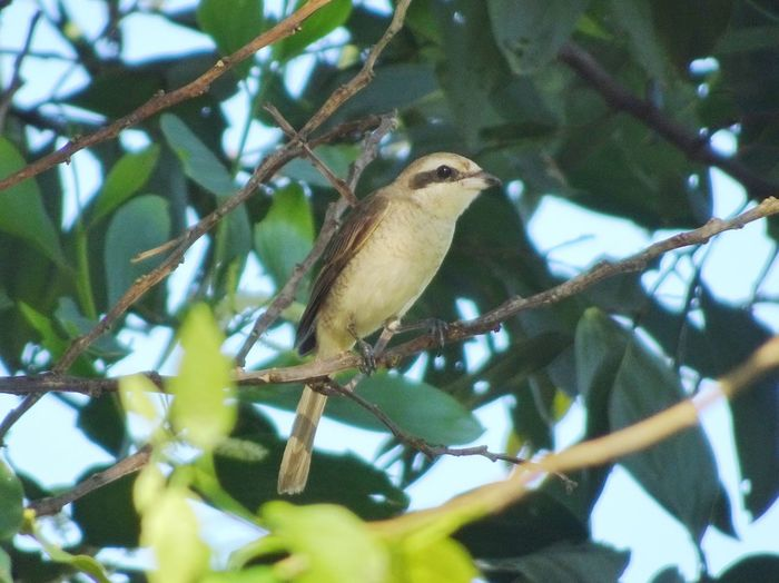 Brown shrike Brown Shrike EyeEmNewHere EyeEm Nature Lover One Animal Animals In The Wild Perching Bird Animal Themes Tree No People Nature