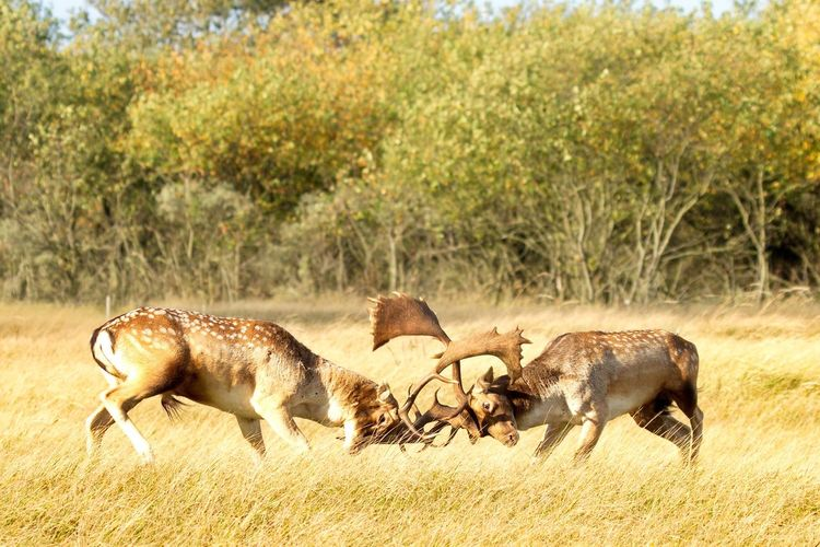 Deers fighting on grass field