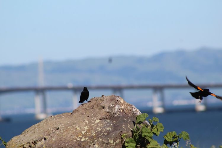Showcase March Black Bird Natural Beauty San Mateo Bridge Birds Of EyeEm  Birds Birds_collection Bay Area Birds In Flight Bridge San Mateo Water