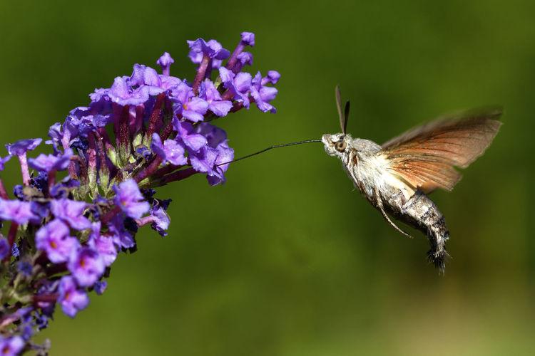 Hummingbird hawk-moth hovering above the flower, brijuni national park