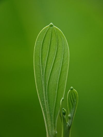 Akasia, close-up of plant growing against green background