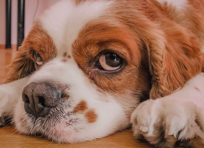 Perspective is an important! Cavalier King Charles Spaniel Lightroom IPhoneography EyeEm Selects Animal Themes One Animal Dog Animal Mammal Canine Pets Domestic Animals Vertebrate Domestic No People Close-up Indoors  Relaxation Animal Eye Eye Looking At Camera Portrait My Best Photo