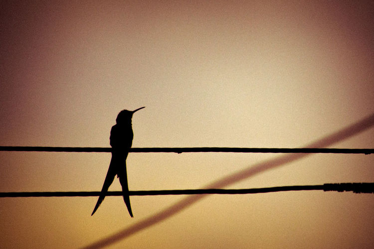 Animal Themes Beija-flor Bird Clear Sky Conceptual Day Full Length Hummingbird Nature No People One Animal Outdoors Perching Shadow Silhouette Sky Sunset Urban