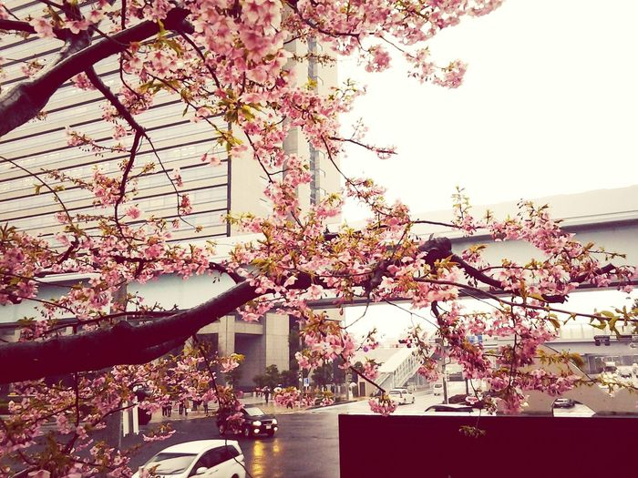 sakura. a flower that symbolizes japan. Hello World Quality Time Overwhelmed Relaxing