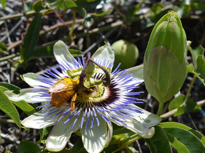 Beauty In Nature Bee Bee Full Of Pollen Bee Looking For Pollen Blooming Close-up Day Flower Flower Head Fragility Freshness Growth Nature No People Outdoors Passion Flower Petal Plant Pollen Pollination Purple Yellow Bee