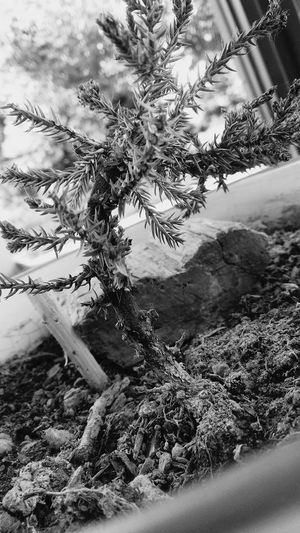 Barren dead bonsai in a pot with misc items Bonsai Tree Dead Plant Black And White Phone Photography Outdoors Close-up Close Up Landscape Tree