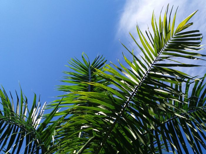 Leaf Palm Tree