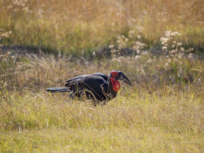 Endangered southern ground hornbrill bird in savannah, moremi game reserve, botswana, africa