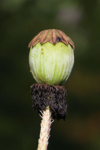 Close-Up Of Dry Poppy Bud Outdoors