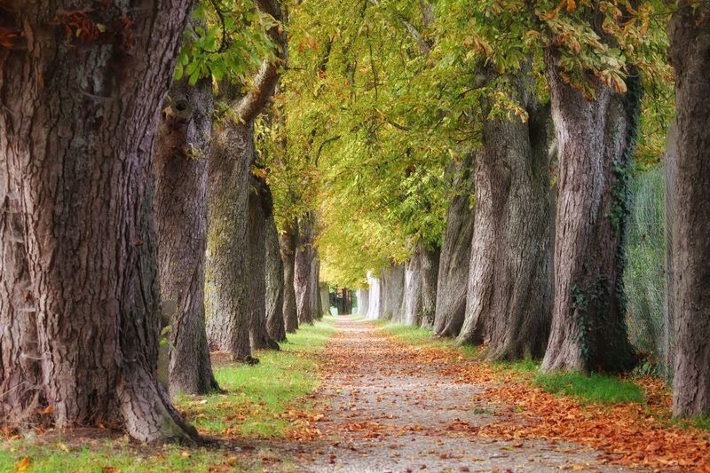 """Chestnut Avenue"" Https://www.facebook.com/mh.photography.de/ Michael Hruschka Bäume Trees Chestnut Tree Way Chestnut Avenue Herbst Herbststimmung Laub Leaves Kastanien Kastanienallee  Tree Direction The Way Forward Plant Trunk Tree Trunk No People Outdoors Autumn Beauty In Nature Day Nature"