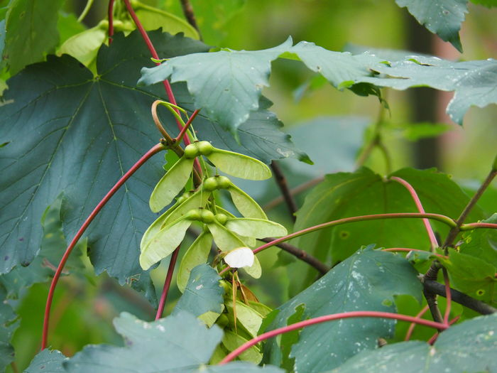Seed Leaves Treetop Tree Crown Leafage Maple Acer Maple Seeds Maple Leafs Maple In Summer July July 2016 European Forest German Forest Renewal  Regeneration Cycle Botanical Cycle Broadleaf