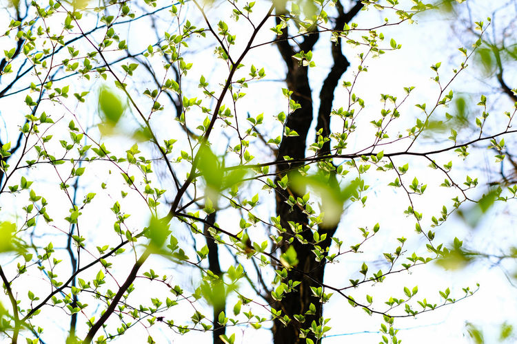 tender green leaves of spring Beauty In Nature Branch Close-up Day Fragility Freshness Green Color Growth Leaf Low Angle View Nature No People Outdoors Sky Spring Tender Green Tree
