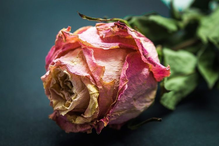 Flower Head Driedflowers Dried Plant Dried Roses Driedrose Rose - Flower Rose - Flower Afterlife EyeEmNewHere Dead Plant Deadrose Flower Rose - Flower Close-up Wilted Plant Dried Dry Wilted Thistle