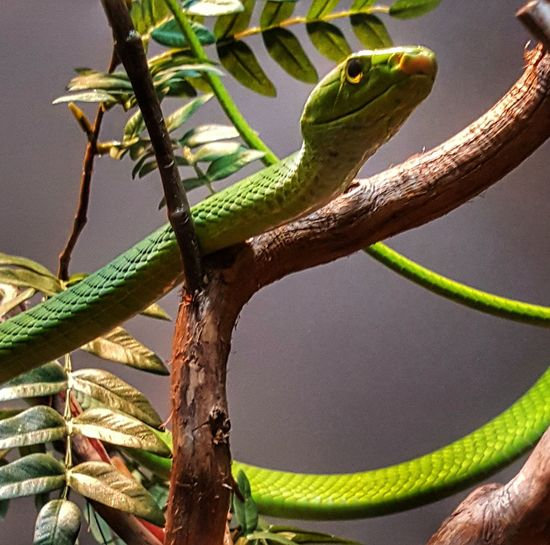#Nature  #Snake Tree Reptile Branch Close-up Green Color