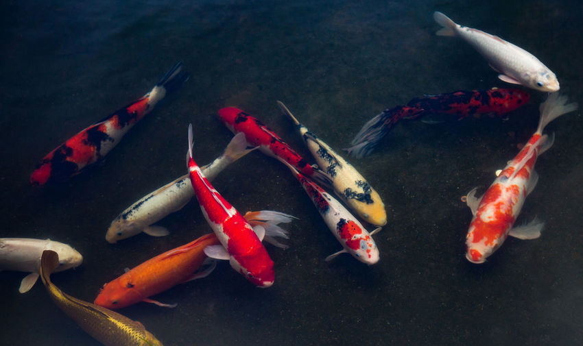 High angle view of koi carps swimming
