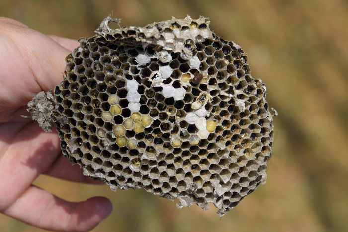 Vespula vulgaris. Destroyed hornet's nest. Drawn on the surface of a honeycomb hornet's nest. Larvae and pupae of wasps. vespula, vulgaris, wasp, mink, nest, fly, destroyed, gutted, killed, collapsed, dead, dismantled, pulled, larvae, pupae, death, excavated, sting, predator, forager, insect, striped, hymenoptera, animals, colony, insects, macro, nature, poisonous, summer, stinger, antenna, filigree, stinging, bee, hexagon, hornet, bug, wasps, chew, wing, fragility, common, pollen, laying, wood, paper, honey, arthropoda, vespiary Animals In The Wild APIculture Bee Beehive Close-up Day Focus On Foreground Hexagon Holding Honey Honeycomb Human Body Part Human Finger Human Hand Insect Men Nature One Person Outdoors People Real People Unrecognizable Person Vespula Vespula, Vulgaris, Wasp, Mink, Nest, Fly, Destroyed, Gutted, Killed, Collapsed, Dead, Dismantled, Pulled, Larvae, Pupae, Death, Excavated, Sting, Predator, Forager, Insect, Striped, Hymenoptera, Animals, Colony, Insects, Macro, Nature, Poisonous, Summer,  Vulgaris Wasp