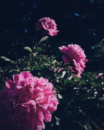 flower power! EyeEm Best Shots EyeEm Best Shots - Nature Spring Nature Beauty In Nature Macro Green EyeEm Best Edits Flower Head Flower Peony  Pink Color Petal Close-up Plant Blooming