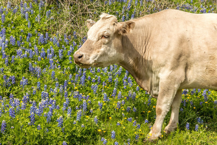Cow in Texas grazing on a meadow with blue bonnets Cow Graze Pasture Blue Bonnets Texas Hill Country Texas Springtime Spring Spring Flowers Animal Themes Animal Mammal Plant One Animal Domestic Animals Livestock Field Domestic Land Pets Vertebrate No People Flower Nature Animal Wildlife Flowering Plant Day Growth Outdoors Herbivorous Animal Head  Profile View
