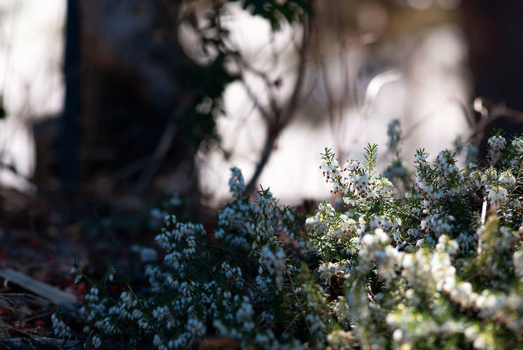 Tiny, white heath flowers bloom in an early, spring woodland garden. Close-up Nature No People Plant Spring Season  Springtime Seasonal Plant Copy Space Flower Fragility Floral Blooming Bloom Garden White Color White Light Shadow Horizontal Growth Heather Heath WoodLand