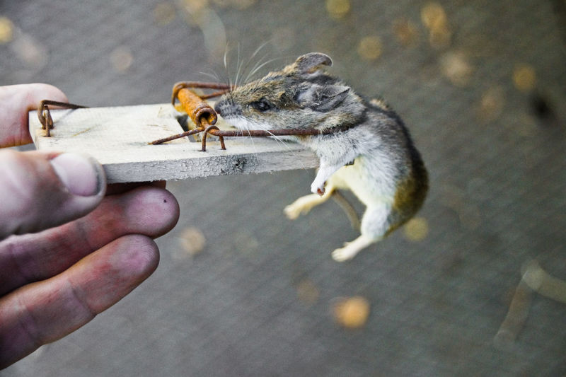 Human hand holding dead mouse in trap
