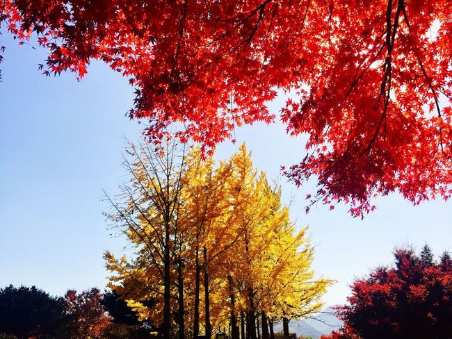 Red And Yellow Yellow Tree Plant Sky Low Angle View Beauty In Nature Growth Nature Autumn Red Scenics - Nature