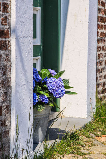 Denmark Farmhouse Hydrangea Architecture Beauty In Nature Blooming Building Exterior Built Structure Close-up Day Door Flower Flower Head Fragility Freshness Growth Nature No People Outdoors Plant Window