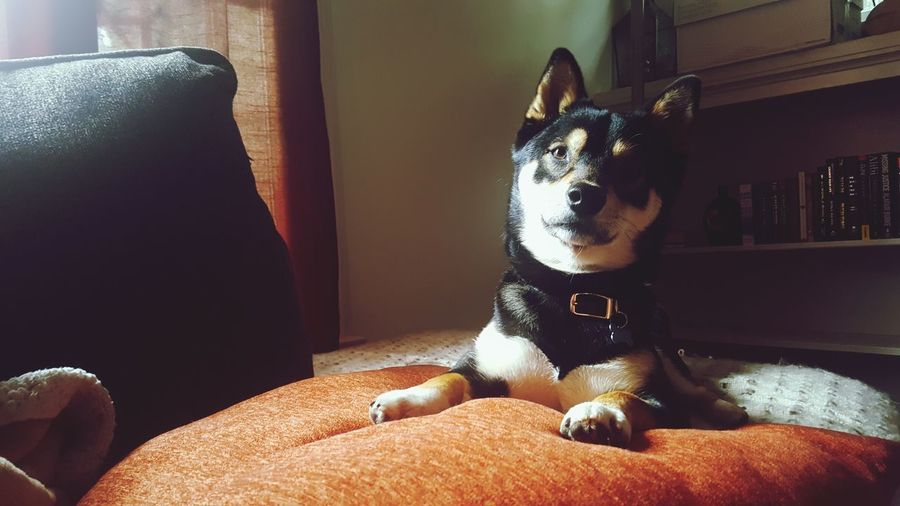 EyeEm Selects Pets Dog Domestic Animals One Animal Indoors  Animal Themes Mammal Home Interior Sitting No People Day Portrait Close-up Shiba Inu Bestfriends Indoors  Headshot
