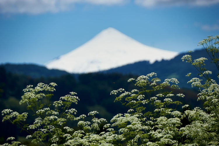Villarrica volcano... Beauty In Nature Plant Mountain Scenics - Nature Growth Nature Tranquility No People Sky Tranquil Scene Day Green Color Tree Non-urban Scene Land Mountain Peak Outdoors Travel Destinations Idyllic Focus On Foreground Tourism Scenics Volcano Aroundtheworld Cloud - Sky