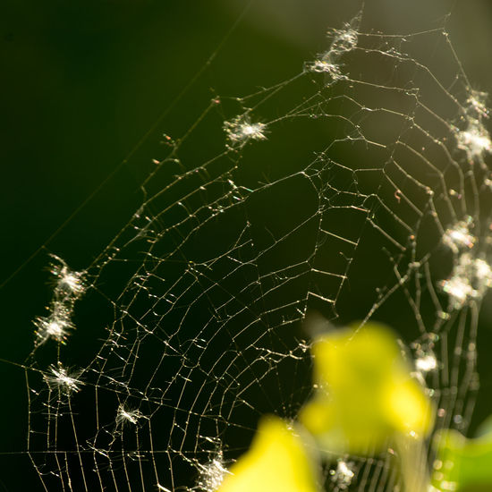 Another Spider WEb Beauty In Nature Close-up Complexity Day Evening Light Focus On Foreground Fragility Nature No People One Animal Outdoors Spider Web Web Willow Seed