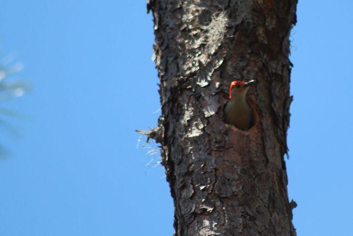 God's Beauty Beautiful Nature Woodpecker Bird Photography Birdwatching Ornithology  Enjoying Nature Daily Walk Front Yard Blessed  Nest Hole