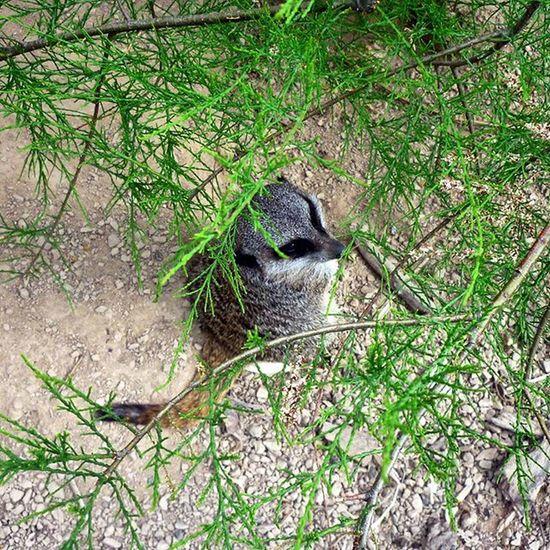 Set them free...🌐 Londonzoo Londonwildlife Wildlifeincages Lemur Lemurs Unhappy Animalsofinstagram Cute Sadanimals