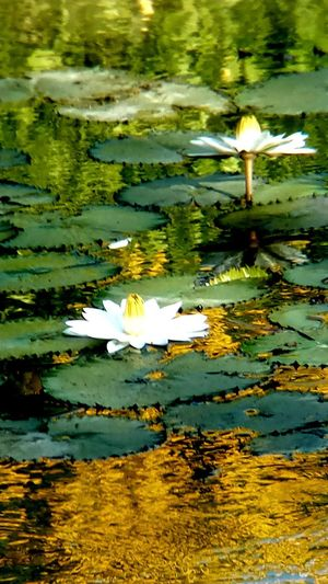 Beauty In Nature Flower Flower Head Flowering Plant Freshness Lake Leaf Lotus Water Lily Outdoors Plant Plant Part Reflection Water Water Lily