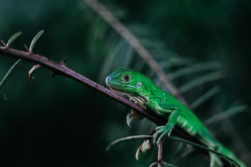 My green friend Lizzard Iguana Green Iguana Wildlife Photos Wildlife Photography Red Eyes Echse Nature Jungle Costa Rica Río Sarapiki 17.62° The Great Outdoors - 2019 EyeEm Awards