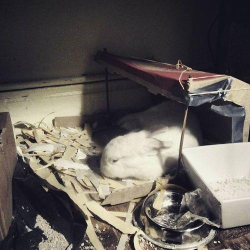 Bunny  Fluffy Pizzaboxhouse Bunnyhut Sleepybunny