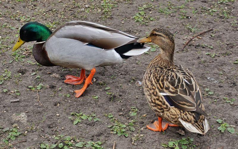 Animal Themes Animals In The Wild Outdoors Nature Ducks Thinks Hes Cool wie im richtigen Leben😂