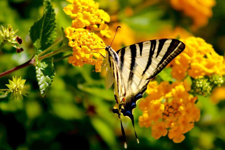 Insect Butterfly - Insect One Animal Animals In The Wild Animal Themes Nature Beauty In Nature Fragility Plant Flower Close-up Animal Wildlife Yellow No People Outdoors Day Pollination Freshness Flower Head Perching Focus Butterfly Holiday EyeEmNewHere EyeEmNewHere