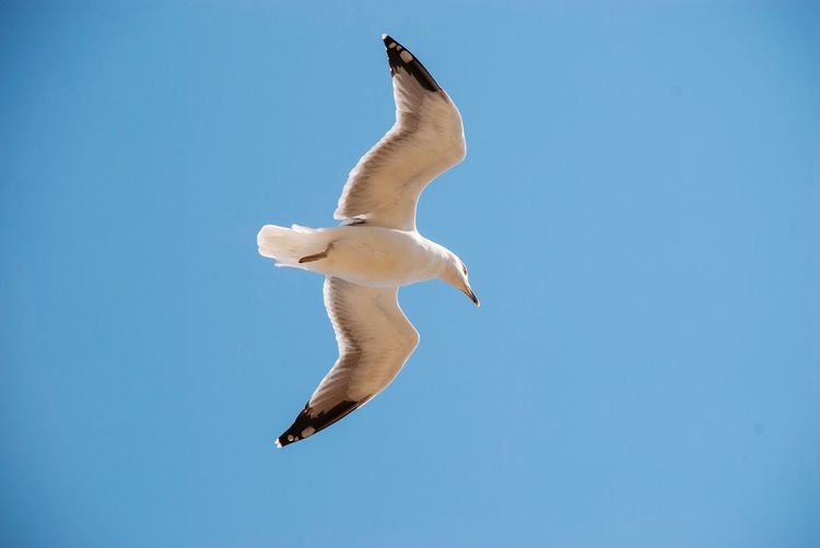 Seagull Animal Animal Themes Blue Animal Wildlife One Animal Animals In The Wild No People Flying Vertebrate Nature Sky Low Angle View Clear Sky Bird Outdoors Spread Wings Full Length Day