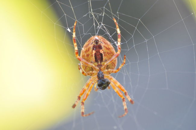 Spider Animal Themes Spider Web One Animal Spider Animals In The Wild Close-up Wildlife Insect Spinning Focus On Foreground Web Nature Fragility Day Outdoors Zoology No People Complexity Beauty In Nature Extreme Close Up Chrixxo Check This Out Hello World SeptemberPhotoChallenge