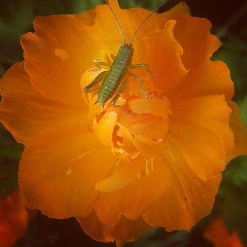 Зеленое на оранжевом цветок  кузнечик дача