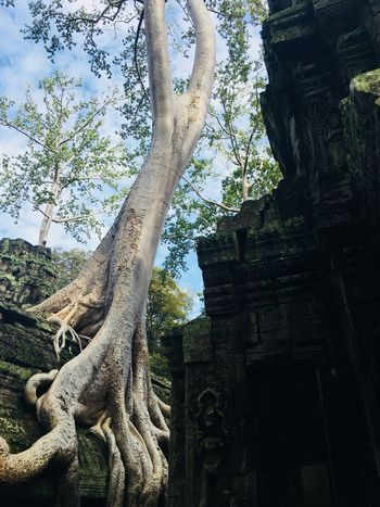 Cambodia Ankor Thom Tree
