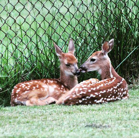 Two fawn laying in suburban backyard Fawn Deer Wild Suburban
